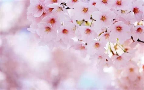 cherry blossoms images wallpapers cherry flowers wallpapers
