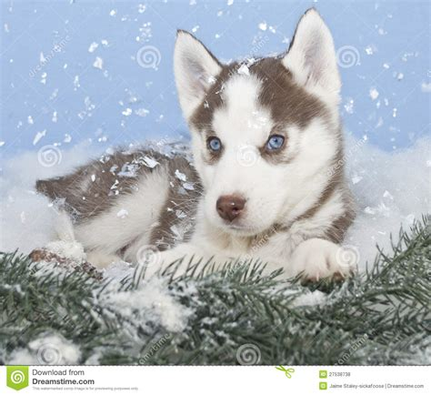 winter puppy winter husky puppy royalty free stock photos image 27538738