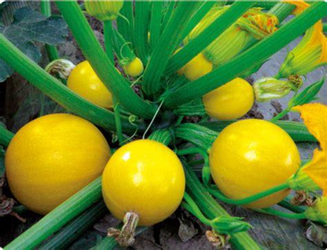 Bibit Wortel China bulat musim panas biji labu zucchini biji untuk dijual