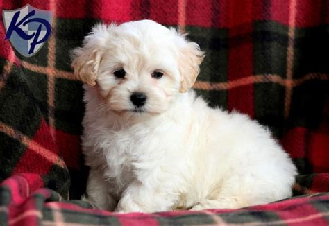 brown maltipoo puppies for sale fisher maltipoo puppies for sale in pa keystone puppies maltipoo puppies