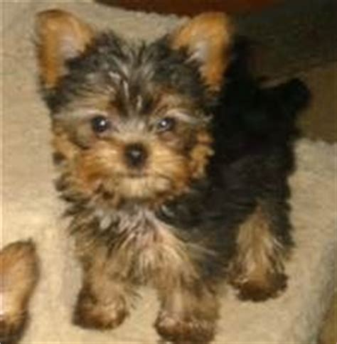 yorkie teddy haircut 12 best morkie haircuts images on