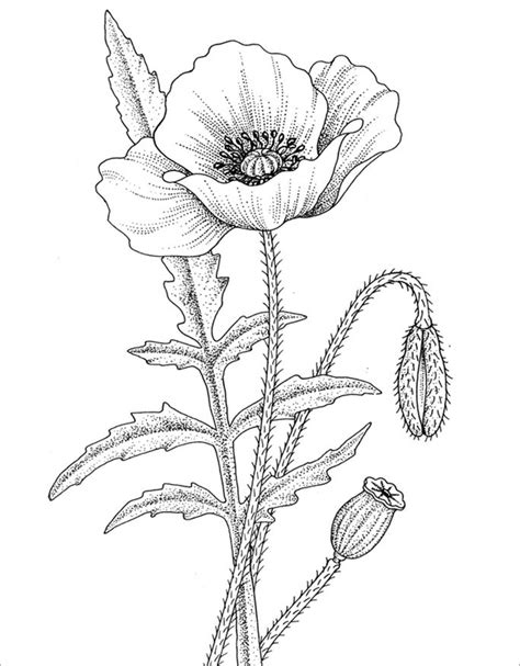 coloring page of a poppy flower 21 poppy coloring pages free printable word pdf png