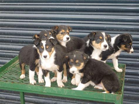 tri colored border collie beautiful tri coloured border collie puppies bala