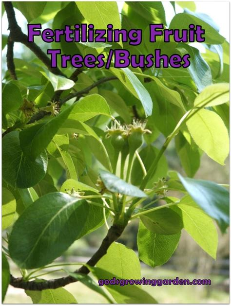 fertilizer for fruit trees fertilizing fruit trees bushes garden