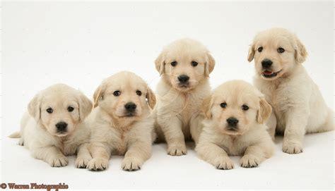 golden retriever puppies pics no expectations 2013 03 17