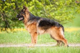 dealing with your german shepherd s coat shedding cycle