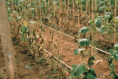 Plant Disease Caused By Bacteria - plant disease diagnosis