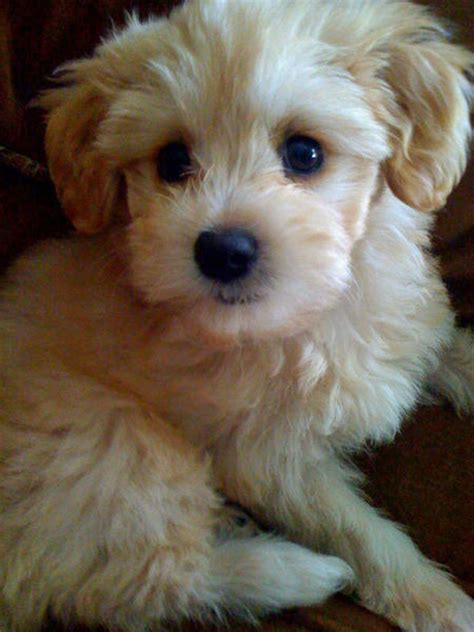 pomeranian poodle mix puppies pomeranian maltese mix pomeranian poodle mix breeds picture