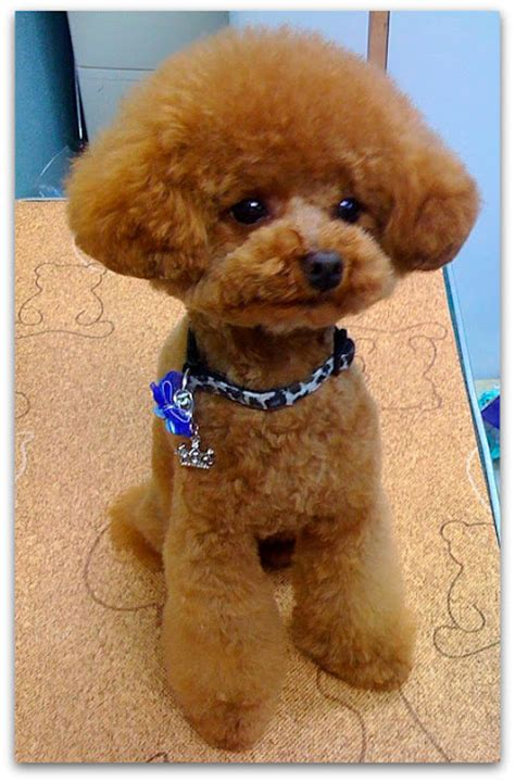 poodle grooming styles images huxtable the poodle toy poodle blog parti poodle