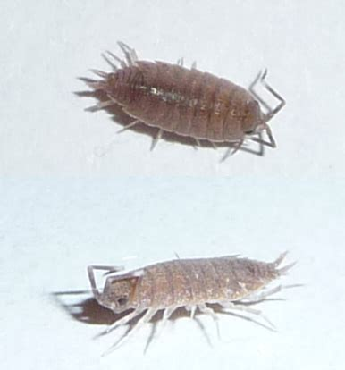 bugs mistaken for bed bugs european sowbug mistaken for bed bug what s that bug