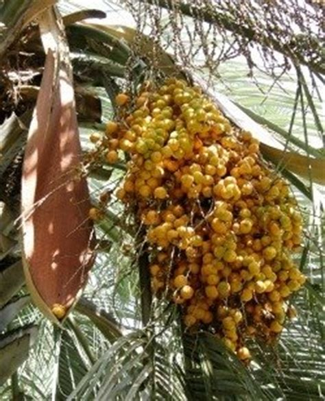 palm tree orange fruit edible palms an introduction to palm fruits dave s garden