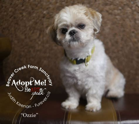 what size crate for shih tzu adoptable shih tzu here s ozzie ready for furever home adopted oct 2014