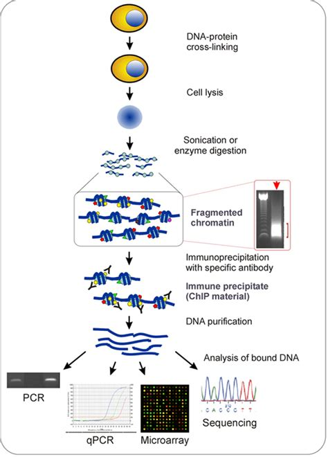 chip qpcr protocol principle and protocol of chromatin immunoprecipitation