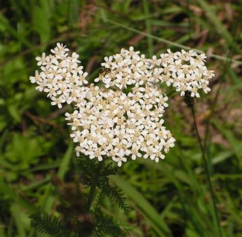 yarrow milfoil achillea millefolium 100 achillea millefolium yarrow milfoil nosebleed plant