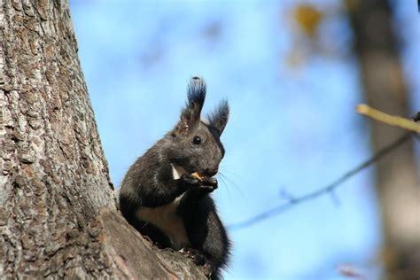 scoiattolo volante giapponese обыкновенная белка или векша лат sciurus vulgaris