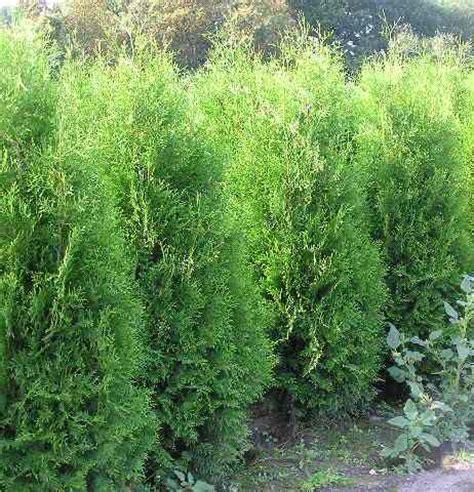 thuja brabant pflanzen 190 baumschule 2000 de gartenpflanzen taxus eiben
