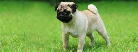 pug breed profile pug breed profile