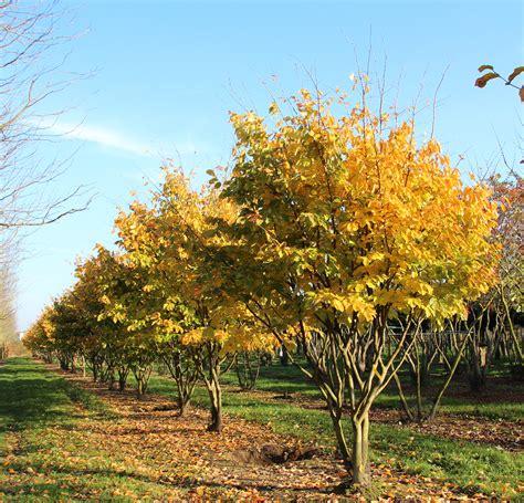 b ume g nstig kaufen 581 parrotia persica kaufen eisenholzbaum parrotia