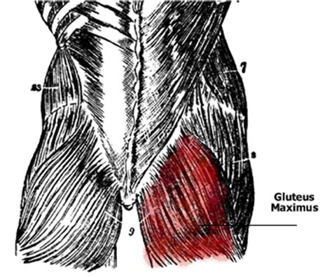 glute muscles diagram anatomy of the gluteus muscles gluteus maximus gluteus