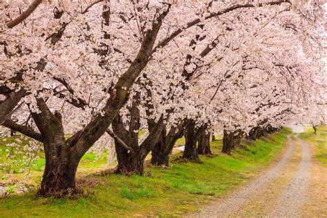 japanese blossom tree cherry blossom flower trees latest hd wallpaper pictures