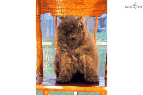 bouvier des flandres puppies for sale bouvier des flandres for sale for 1 350 near southeast missouri missouri accd5912 7441
