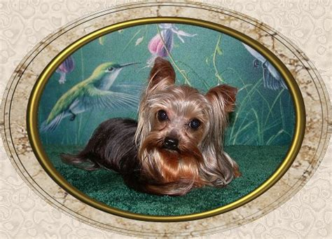 yorkie puppies for sale in alexandria la page 7 velvet touch yorkies d o b height weight information