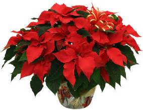 Red poinsettia plant colonial flower shop ronkonkoma ny