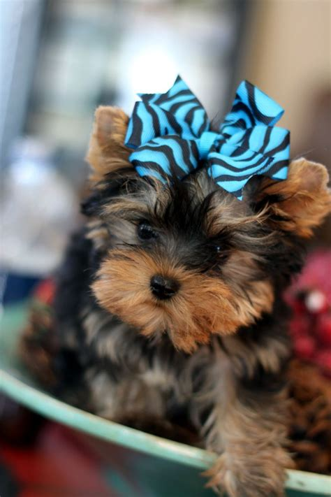 black yorkie puppies for sale 3156 best yorkies images on yorkies baby puppies and terriers
