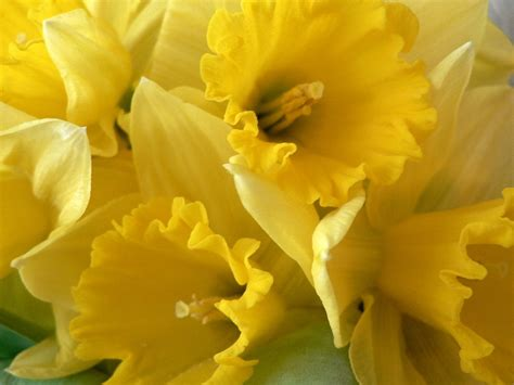 daffodil yellow 100s and 1000s of reasons to celebrate for food and family