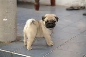 Pugs For Sale In Miniature Pug Puppies For Sale Pug Pups For Sale
