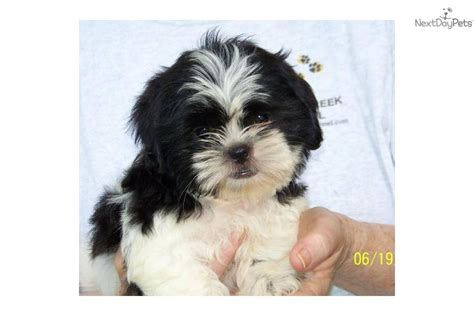 shih tzu names puppies shih tzu hairstyles hairstylegalleries