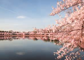 cherry blossom festival dc guide to the washington dc cherry blossoms updated 2018