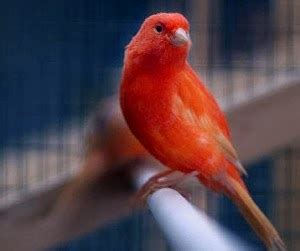 Obat Cacing Kenari harga kenari februari 2016 kicau burung