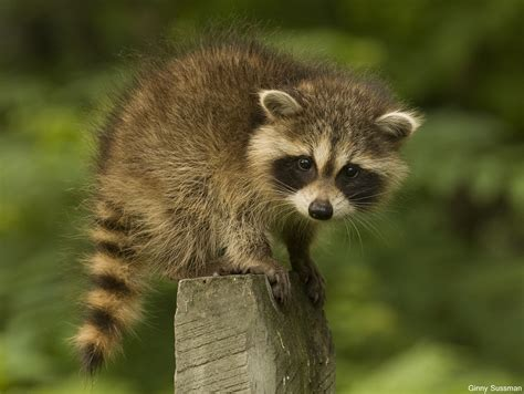 What To Do If A Raccoon Is In Your Backyard by How To Live Responsibly Alongside Our Neighbors The