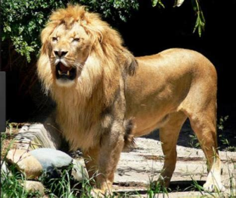 Leo Singa Yang Baik Hati singa raja hutan yang baik hati konfrontasi