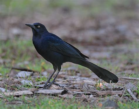 birds great tailed grackle