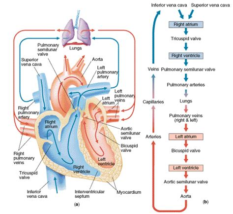 blood flow through the diagram step by step circulation feel the quot quot