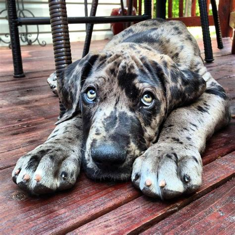 brindle great dane puppy best 25 great dane puppies ideas on great