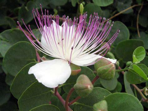 fiore di cappero capperi cappero produzione vendita esportazione pianta
