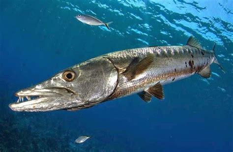 Box Ikan Mancing pin cara umpan kolam pancing air tawar genuardis portal on