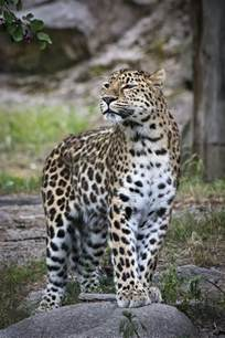 What Is The Difference Between A Leopard And A Jaguar Wildlife Difference Between Leopard And Cheetah