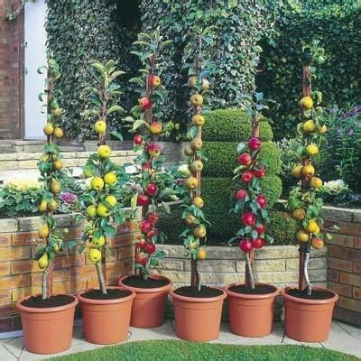 Patio Fruit Tree by Patio Pillar Fruit Trees Mini Orchard Collection 3