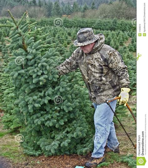 man cutting down a christmas tree stock image image
