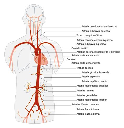 diagram of the aorta file aorta es svg wikimedia commons