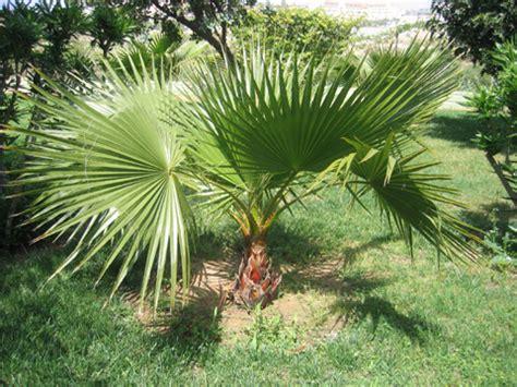 Le Palmier palmier nain chamaerops humilis plantation taille