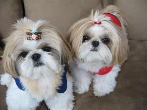 where can i buy a shih tzu perros de raza shih tzu design bild