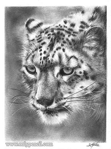 Snow Leopard Pencil Drawing   Flickr - Photo Sharing!