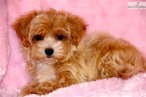 apricot maltipoo puppies for sale malti poo maltipoo puppy for sale near tulsa oklahoma 6cca855e db51