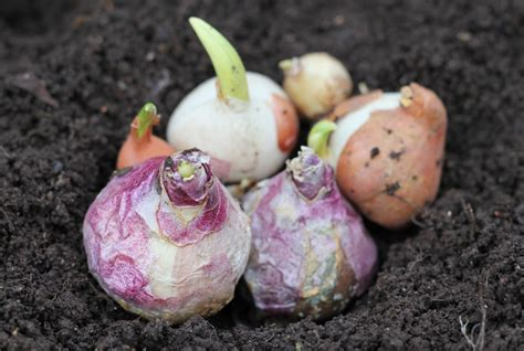 plant bulbs now for early spring ncpr news