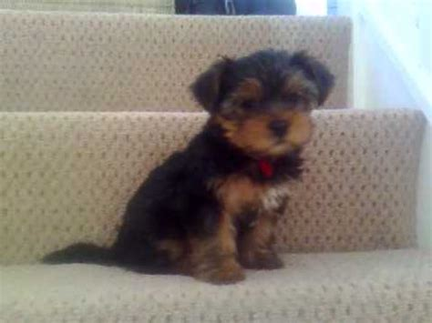 yorkie puppies tails happy rosie terrier puppy